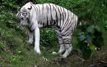 Ο ντροπαλός λευκός τίγρης που αρνείται να ζευγαρώσει