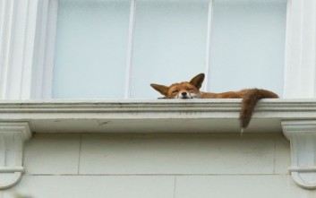 Η αλεπού κουράστηκε και είπε να πάρει έναν υπνάκο