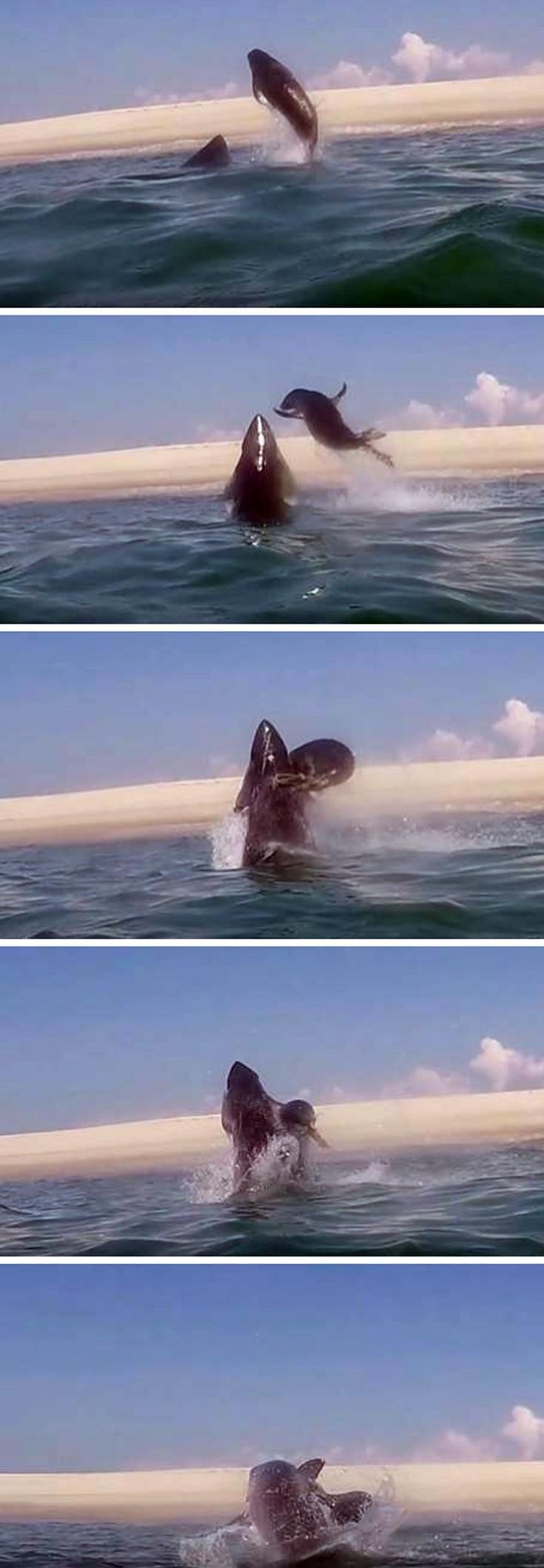 φώκια καρχαρίας