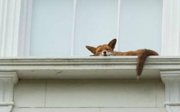 Ο… υπνάκος της αλεπούς