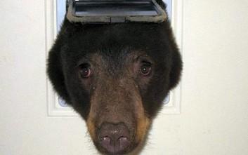 Αρκούδα τρύπωσε σε άνοιγμα πόρτας