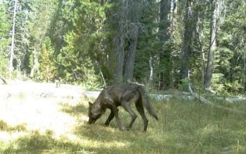 Η πρώτη αγέλη λύκων στην Καλιφόρνια μετά από έναν αιώνα