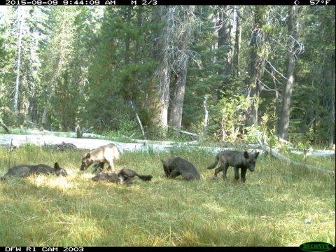 λύκοι Καλιφόρνια