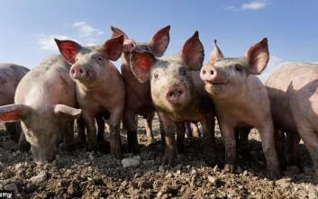 Πώς συνδέεται η εκτροφή χοίρων με… την όσφρησή μας