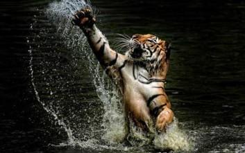 Φωτογραφίζοντας τίγρεις