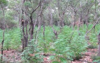 Φυτεία με 1.301 δενδρύλλια κάνναβης εντοπίστηκε στη Φωκίδα