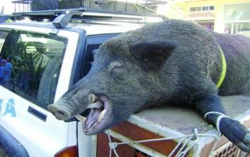 Σκότωσαν αγριογούρουνο 200 κιλών