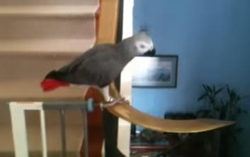 Ο παπαγάλος που κάνει τσουλήθρα