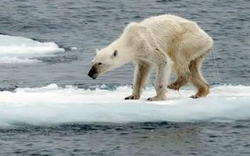 Οι πολικές αρκούδες στη Νορβηγία λιμοκτονούν