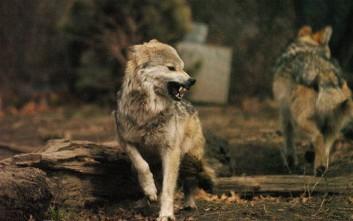 «Είδα πάνω από 50 λύκους να κατασπαράζουν ένα άλογο»