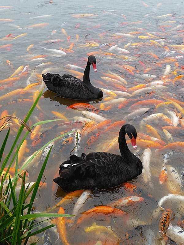 black-swan-photos-6