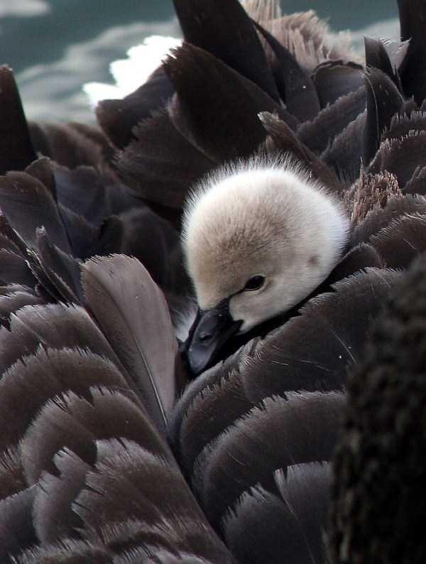 black-swan-photos-9