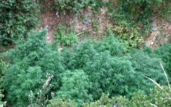 Μεγάλη χασισοφυτεία εντοπίστηκε σε ορεινή περιοχή των Καμένων Βούρλων