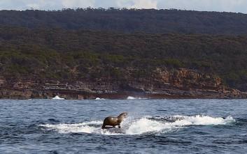 Φώκια… σέρφερ στην πλάτη φάλαινας!