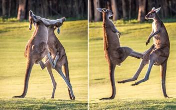 Μάχη - χορογραφία μεταξύ καγκουρό