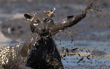 Όταν μια λεοπάρδαλη ψαρεύει στις λάσπες