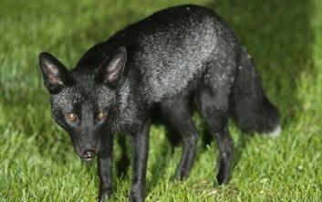 Ενθουσιασμός για τον εντοπισμό μαύρης αλεπούς