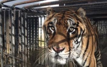 Πέθανε ο τίγρης που είχε διασωθεί από τον ζωολογικό κήπο Τρικάλων