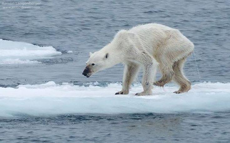 polar bears 1