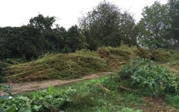 Φυτεία με 500 δενδρύλλια χασίς εντόπισε η αστυνομία στην Αχαΐα