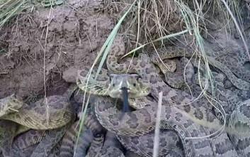 Φίδι αρπάζει κάμερα GoPro