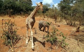 Ελέφαντας και καμηλοπάρδαλη έγιναν «αυτοκόλλητοι» μετά τη διάσωσή τους