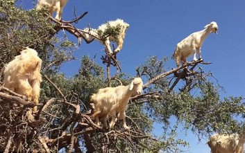 Τα διάσημα κατσίκια-αναρριχητές του Μαρόκου