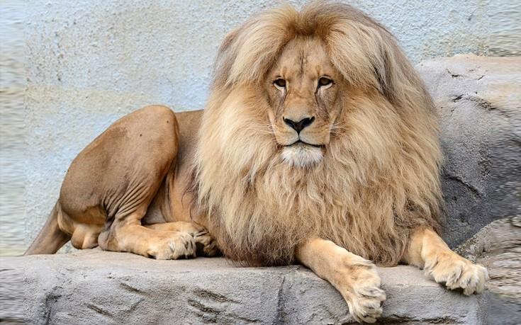 liono1