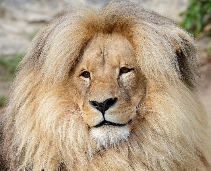 liono2
