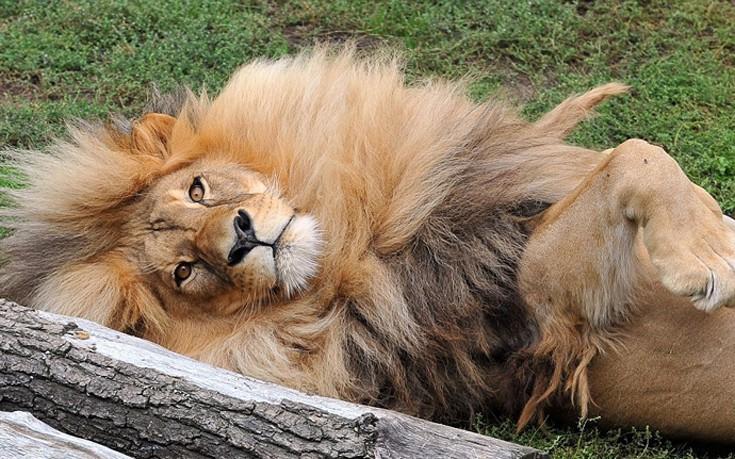 liono4