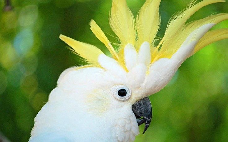 papagalos