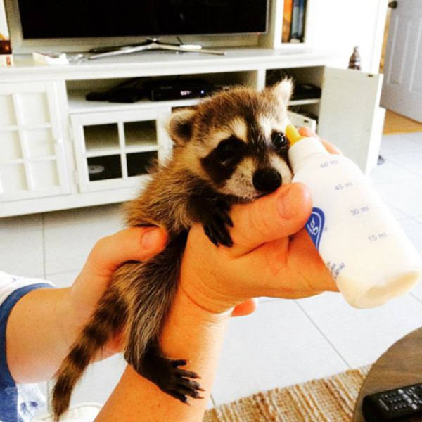 the_baby_raccoon_that_was_raised_by_a_family_of_dogs_640_02