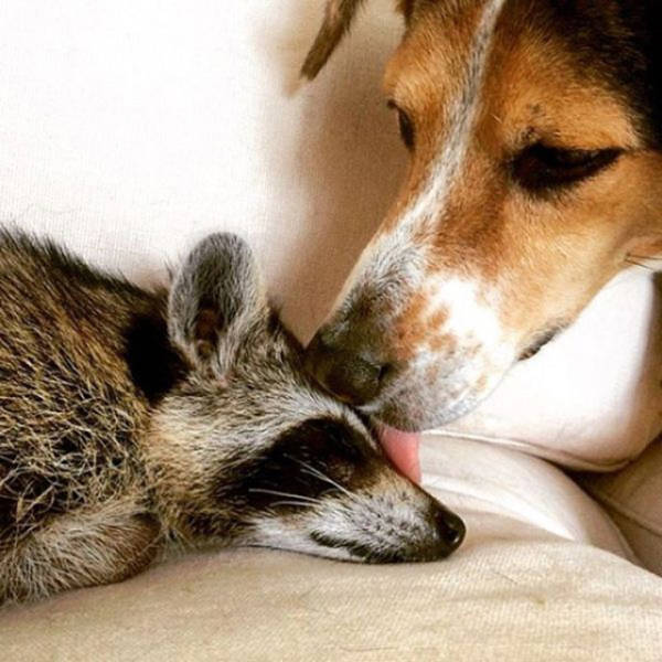 the_baby_raccoon_that_was_raised_by_a_family_of_dogs_640_04