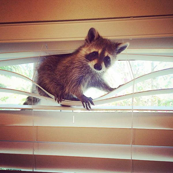 the_baby_raccoon_that_was_raised_by_a_family_of_dogs_640_05