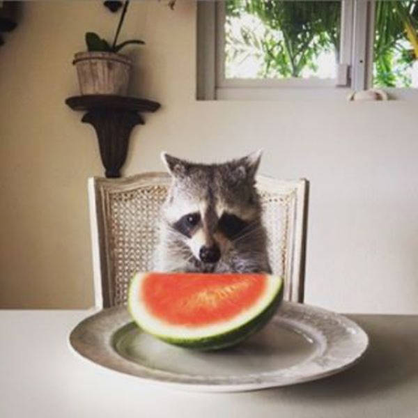 the_baby_raccoon_that_was_raised_by_a_family_of_dogs_640_11