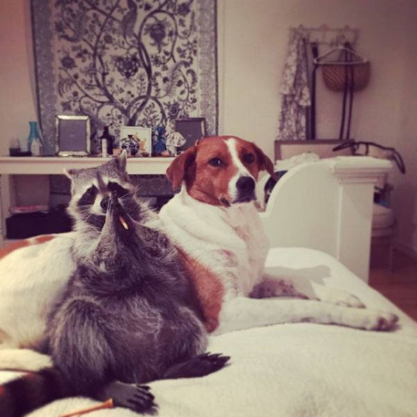 the_baby_raccoon_that_was_raised_by_a_family_of_dogs_640_13