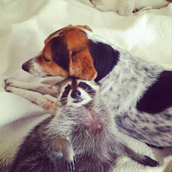 the_baby_raccoon_that_was_raised_by_a_family_of_dogs_640_15