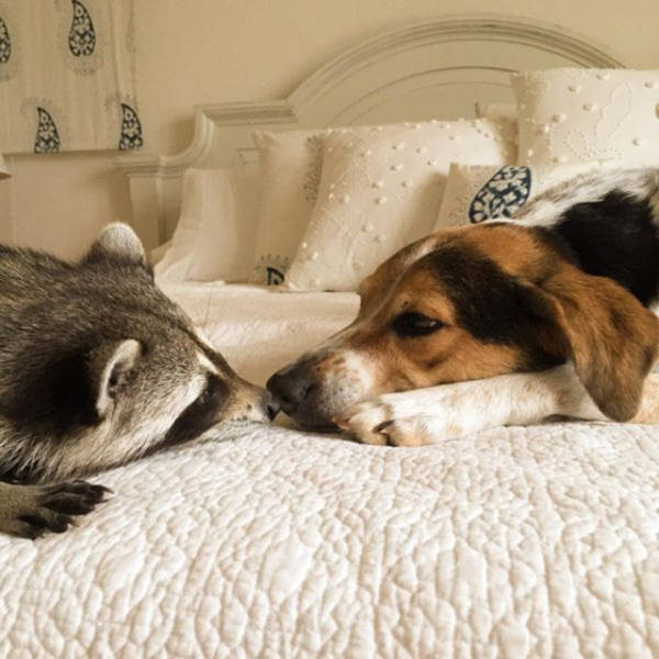 the_baby_raccoon_that_was_raised_by_a_family_of_dogs_640_17