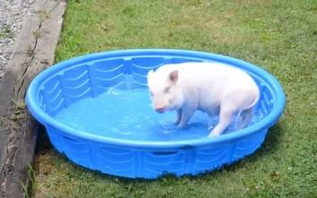 Χαρούμενο γουρουνάκι πλατσουρίζει στην πισίνα