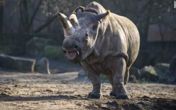 Η Κίνα παίρνει πίσω τη «χαλάρωση» στην απαγόρευση μελών τίγρεων και ρινόκερων