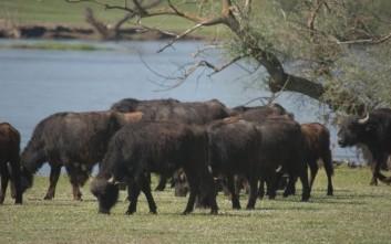 Τα Τρίκαλα κινδυνεύουν από επίθεση... βουβαλιών