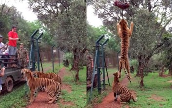 Τίγρη σε εκπληκτικό κατακόρυφο άλμα
