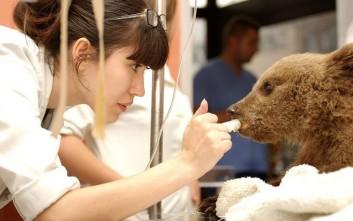 Ανάπηρο θα μείνει το ορφανό αρκουδάκι που περιέθαλψε ο «Αρκτούρος»