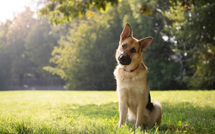 Γιατί τα σκυλιά γέρνουν το κεφάλι τους όταν τους μιλούν οι άνθρωποι