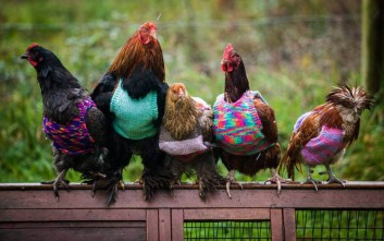 Κότες με... πουλόβερ!