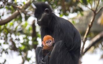 Το αξιολάτρευτο πορτοκαλί μαϊμουδάκι Nangua
