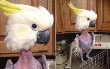 Παπαγάλος έχασε όλα του τα φτερά από το στρες