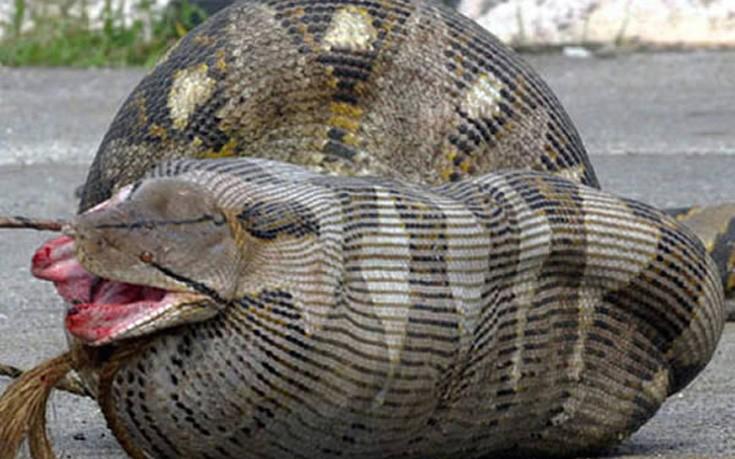 Ανατριχιαστικές εικόνες: Φίδια που έφαγαν περισσότερο από ό,τι μπορούσαν!