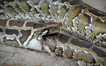 Εννιά φίδια που έφαγαν περισσότερο απ' ό,τι μπορούσαν