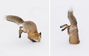 Η… εκτόξευση της αλεπούς